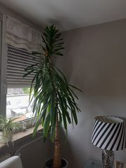 YUCCA Palme 190 - 200 cm