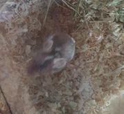 Verkaufe Mäusebock