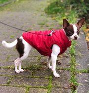Kleine Reinrassige Hündin Chihuahua