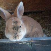 Zwergkaninchen Kaninchen rotbraun mit grau