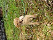 Süße Labrador - Border Collie Welpen