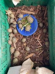 Griechische Landschildkröten THB Jungtiere