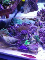 korallen ableger