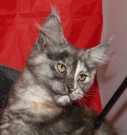 Traumhaft schönes Maine Coon Kitten