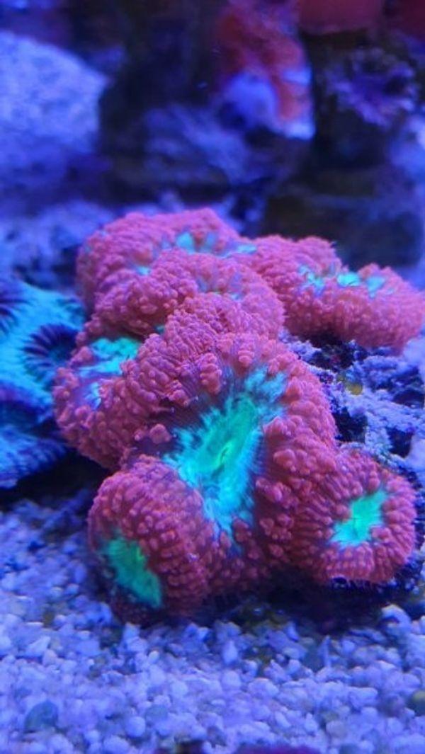 Meerwasser korallen und Zubehör