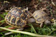 Nachzuchten griechischer Landschildkröten von 2018