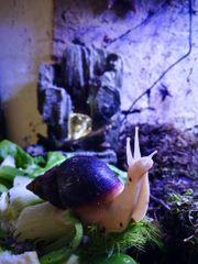 Achatschnecken Achatina Fulica Babys