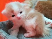 Maine coon-Persermix Babys