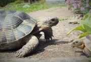 Maurisches Landschildkröten Männchen NZ 2013