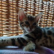 4 tolle Bengalkater