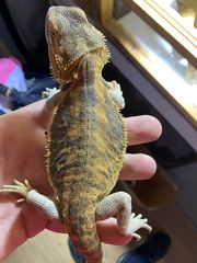 Orange Yellow Hypo Leatherback Dame