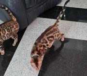 Reinrassige Bengalkatzen