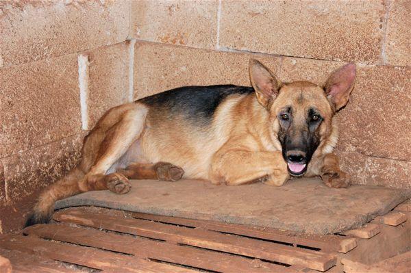 Argo Schäferhundmix ca 10 Monate