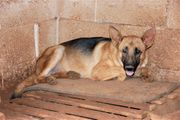 Argo Schäferhundmix Rüde ca 11
