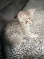 Süße BHK Kitten suchen ein