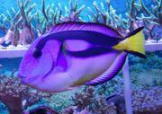 Meerwasser Gelbbauch Palettendok