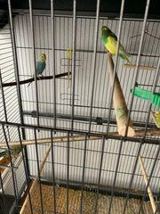 Wellensittiche abzugeben mit Vogelkäfig