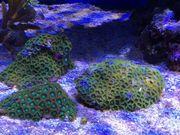 Zoa Zoanthus Korallen Ableger Meerwasser