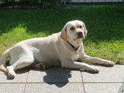 Blonde Labrador Retrieverhündin sucht Bestplatz