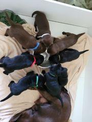 Wunderschöner Labrador Rüde sucht