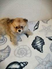 Pomeranian Teddy mädchen