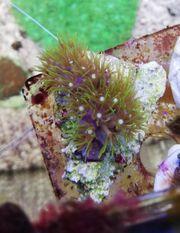 Meerwasser neongrüne Röhrenkoralle