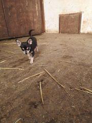 Chihuahua Welpe reserviert bis Sonntag
