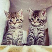 BKH Kitten black golden silver