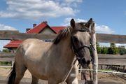 konik pony Kinderpony familienpony Stute