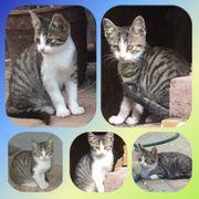 Kleines Tigerchen Baby Kater Kitten