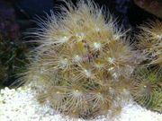 Terrazoanthus