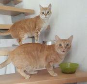 Rote Katzen Princesita und Queen