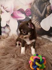 CHOCOLATE TAN Chihuahua Welpe Hündin