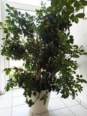 Schefflera Zimmerpflanze ca 170 cm