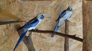 Biete 2 wunderschöne blaue Penantsittiche