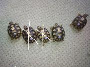 Griechische Breitrandschildkröten Testudo marginata - NZ