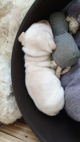 Shar pei welpen selten: Kleinanzeigen aus Windsbach - Rubrik Hunde
