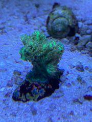 Hydnophora LPS