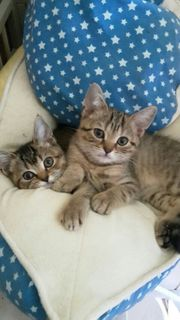 Vier Britisch kurzhaar Kitten suchen