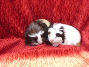 Baby Meerschweinchen 4 Wochen jung