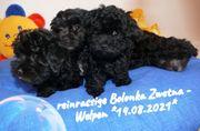 Entzückende reinrassige Bolonka Zwetna Welpen