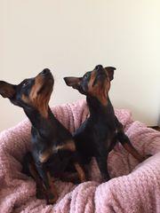 Hunde zwergpinscher