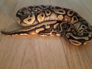 gebe mein python 1 0
