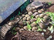 Pärchen Landschildkröten inkl Versand