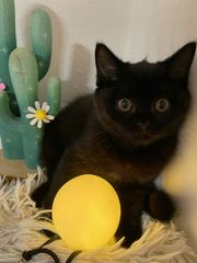 Süße BKH Kitten abholbereit