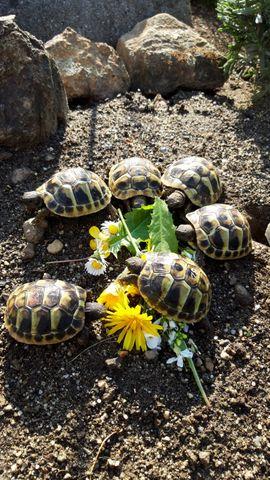 Nachzucht 2020 Griechische Landschildkröten: Kleinanzeigen aus Spiegelau Holzhammer - Rubrik Reptilien, Terraristik