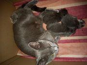 BKH Russisch Blau Kitten suchen
