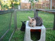 Zuckersüsse Kaninchenbabys Zwergwidder und Löwenköpfchen