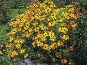Blumen Gelber Sonnenhut Montbretien Herbstanemonen