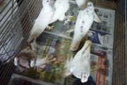 Taube zu verkaufen